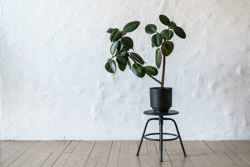 Flower pot with ficus tree standing on floor at white brick wall background, copy space