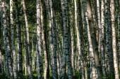 bílá bříza strom kmen textura v zatažené letní den s zelené listí v lese