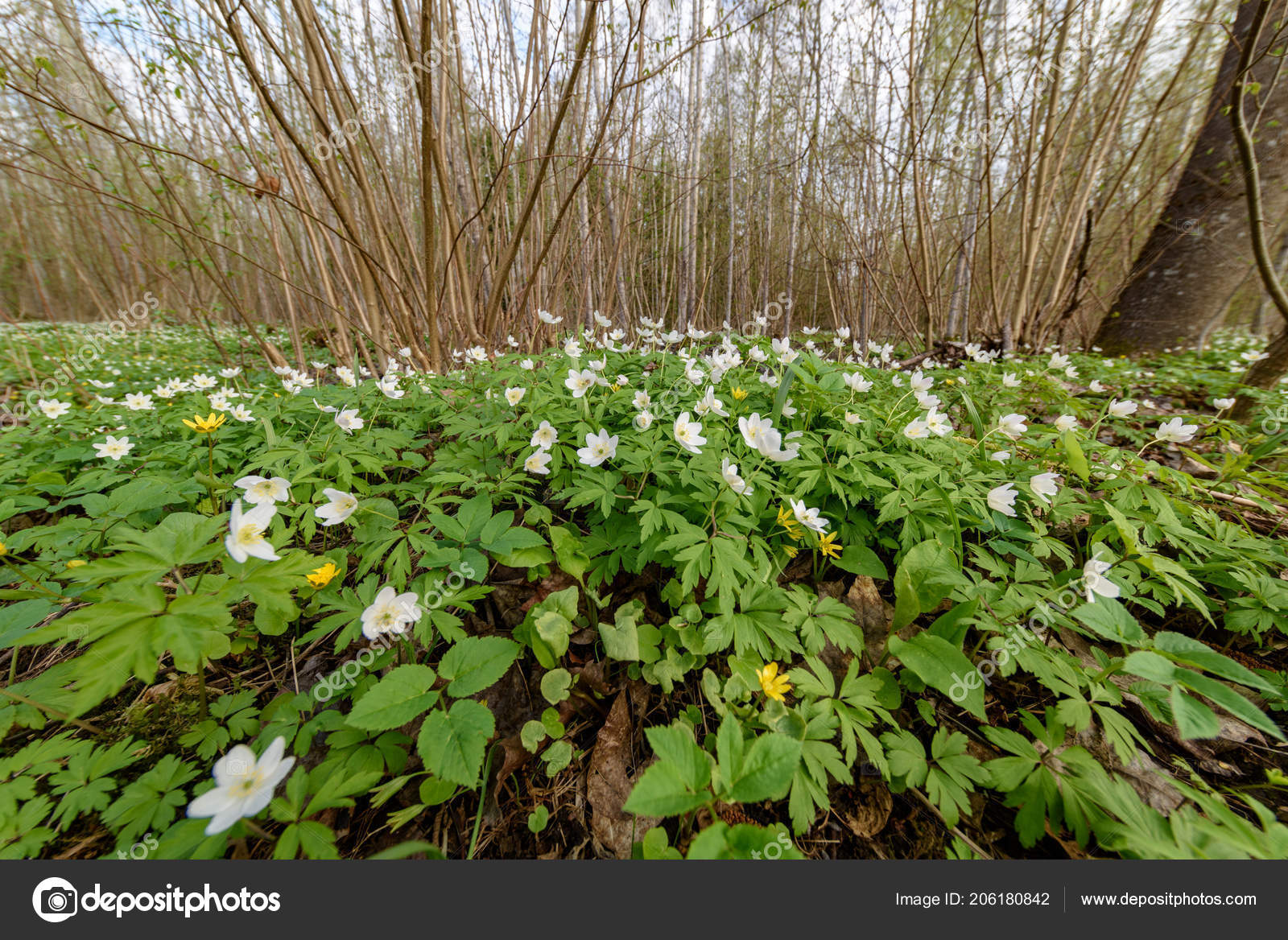 Large Field Of White Anemone Flowers In Spring Stock Photo