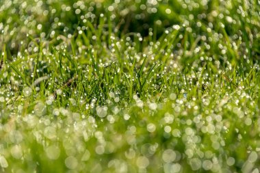 Beautiful green lawn freshly mowed with rain dew and background blur bokeh