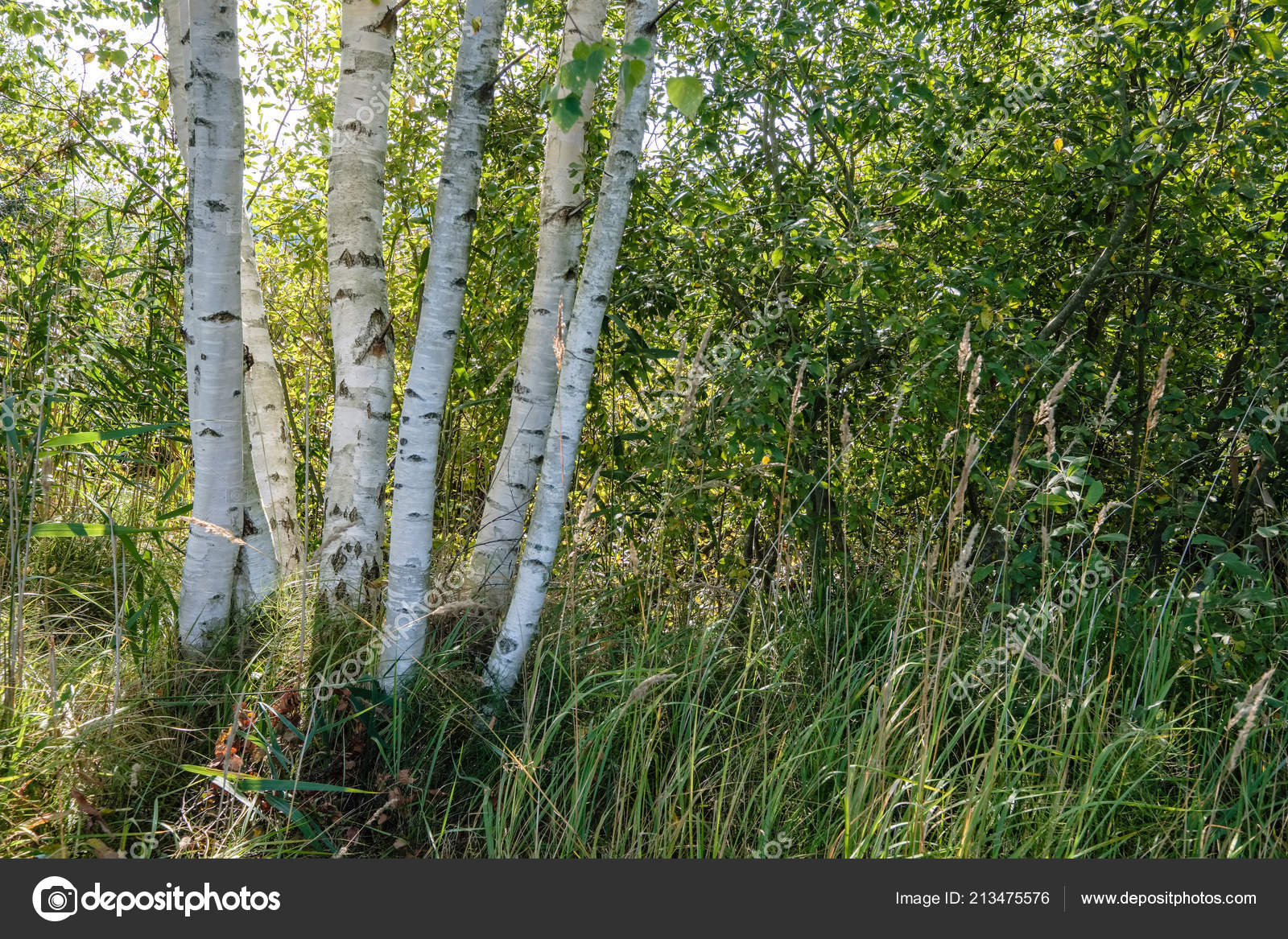 f9205fcb75aae Birch Tree Trunk Texture Direct Sunlight Bright Summer Day Sun– stock image