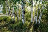 bříza textury kmen stromu na přímém slunci v jasného letního dne se slunce svítí skrz listy. Krajina stínů v popředí