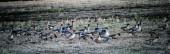Eine große Herde Gänse sammelt sich auf dem Feld, um nach Süden zu fliegen. Zugvögel in Lettland. Gänse sind Wasservögel aus der Familie der Anatidae
