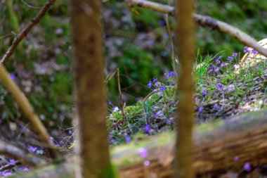 liverleaf flowers, Hepatica nobilis, in spring forest bed on a background of old leaves and few green leaves