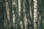 bílá bříza strom kmeny textura v zatažené letní den s zelené listí v lese