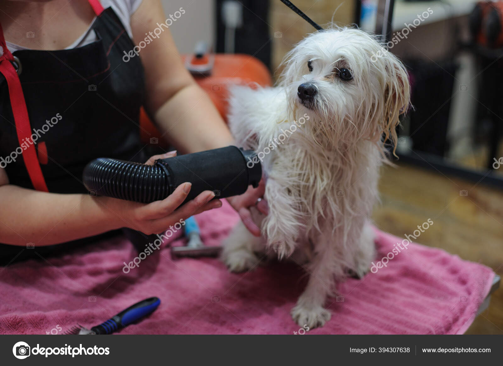 Grooming a little dog in a hair salon for dogs.Professional cares for a dog  in a specialized salon. Haircut for white dog 7