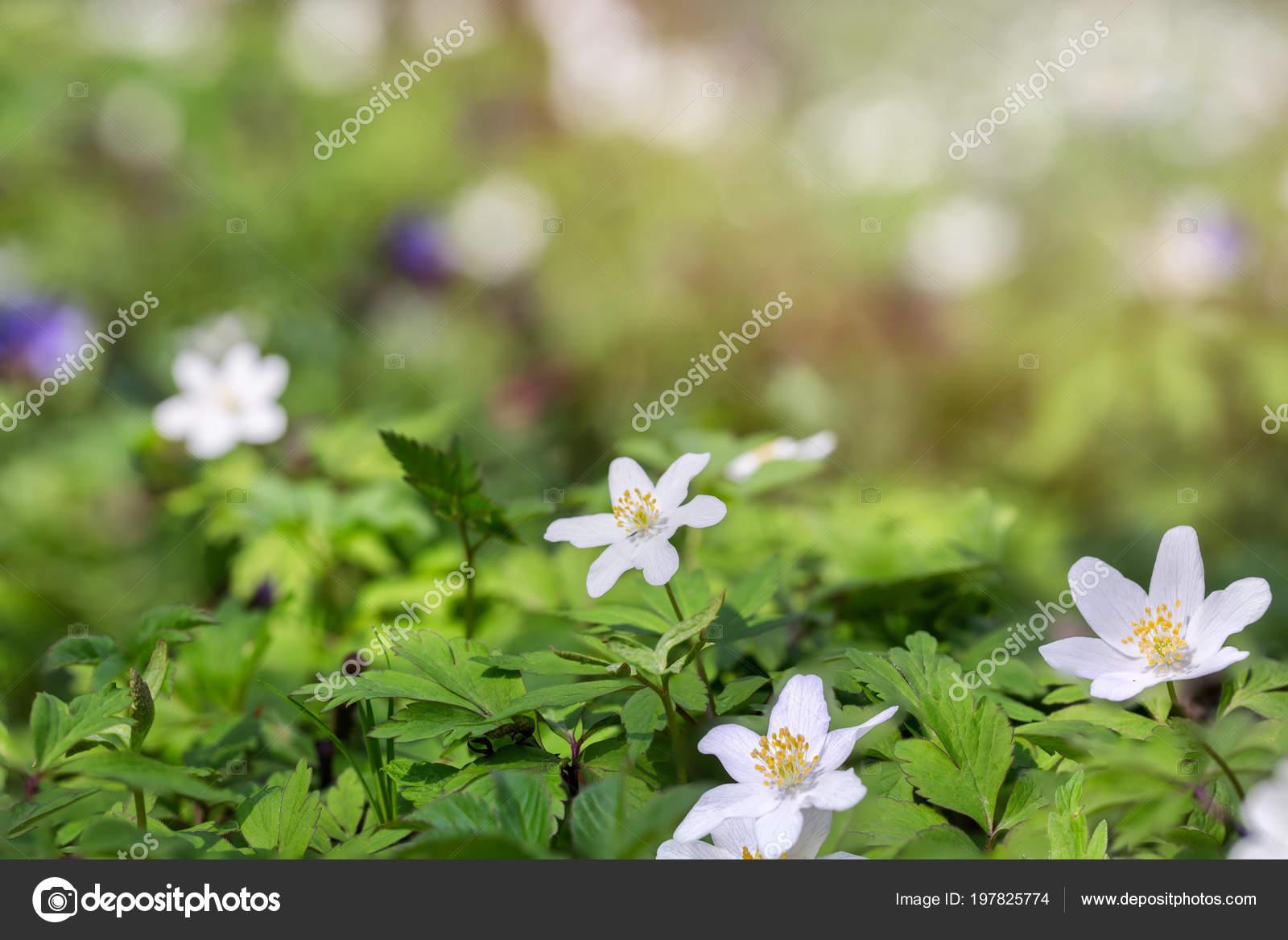 Erste Fruhlingsblumen Sie Wald Weisse Blumen Auf Einer Waldlichtung