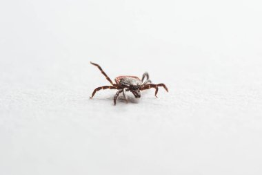 Wood tick, Ixodes ricinus, specimen - angled side view, isolated on white