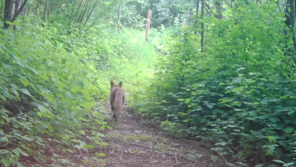 A red fox from trail camera view.