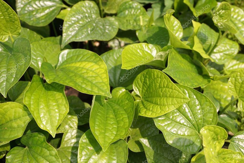 Fresh green Piper sarmentosum plant in nature garden