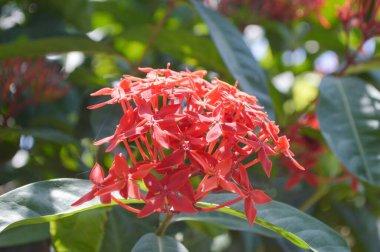 red Ixora coccinea flower in nature garden