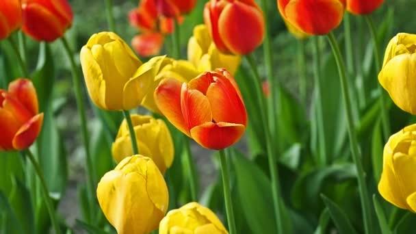 Spring backdrop of Tulip field.