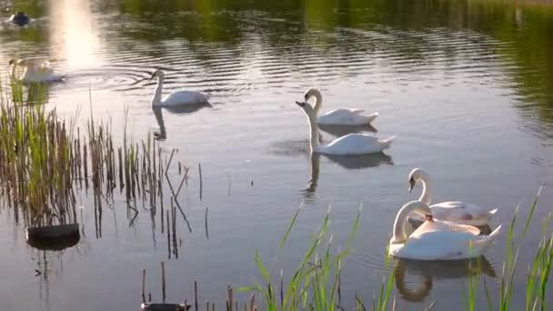 skupina bílých labutí plovoucích v jezírku