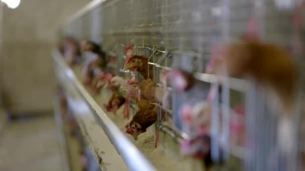 slepice v klecích domácí ptáci klovnou krmivo nejlepší výživa pro drůbež kuřata