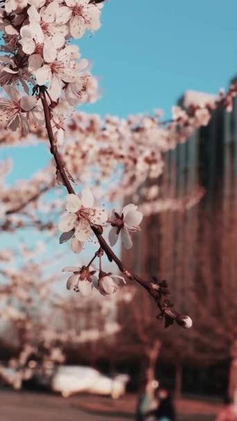 třešňové květy kvetoucí během jarní sezóny