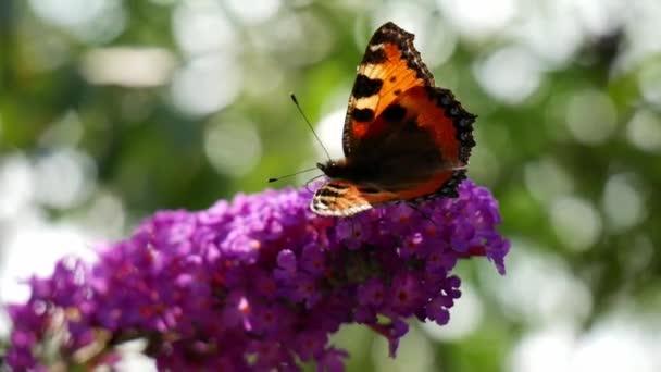 motýl krmící se na shluku květin