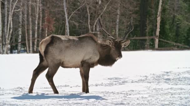 jelen hledající potravu v zemi pokryté sněhem