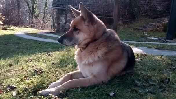 německý ovčák sedící na trávě