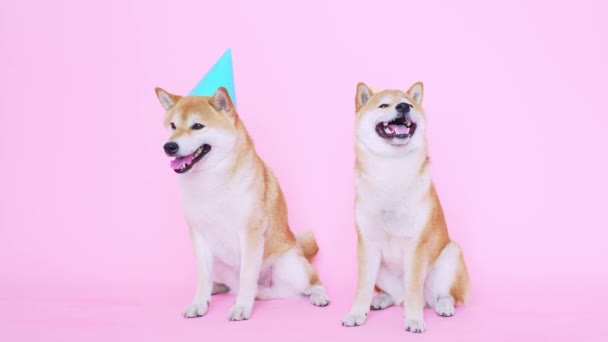 Niedliche Shiba Inu Hunde mit Party-Hüten