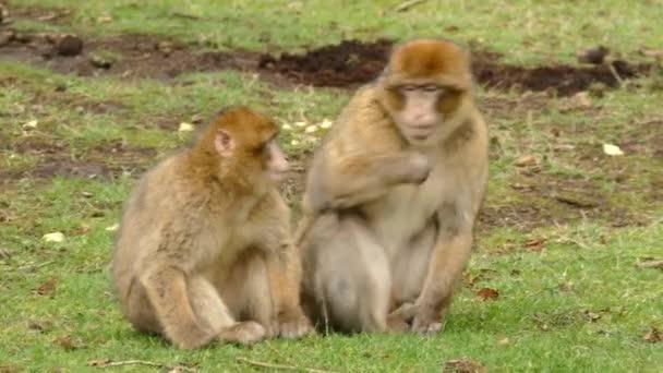 rodina opic