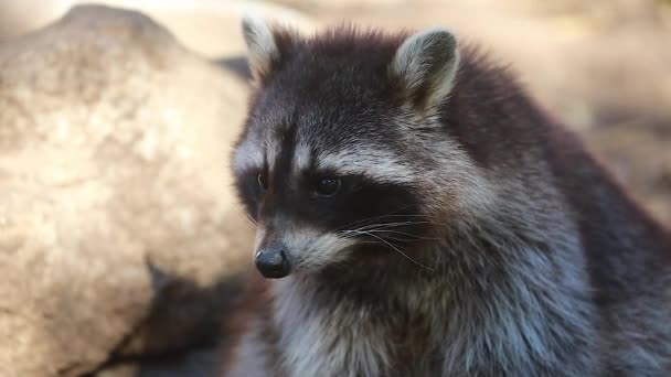Video of Raccoon Close Up