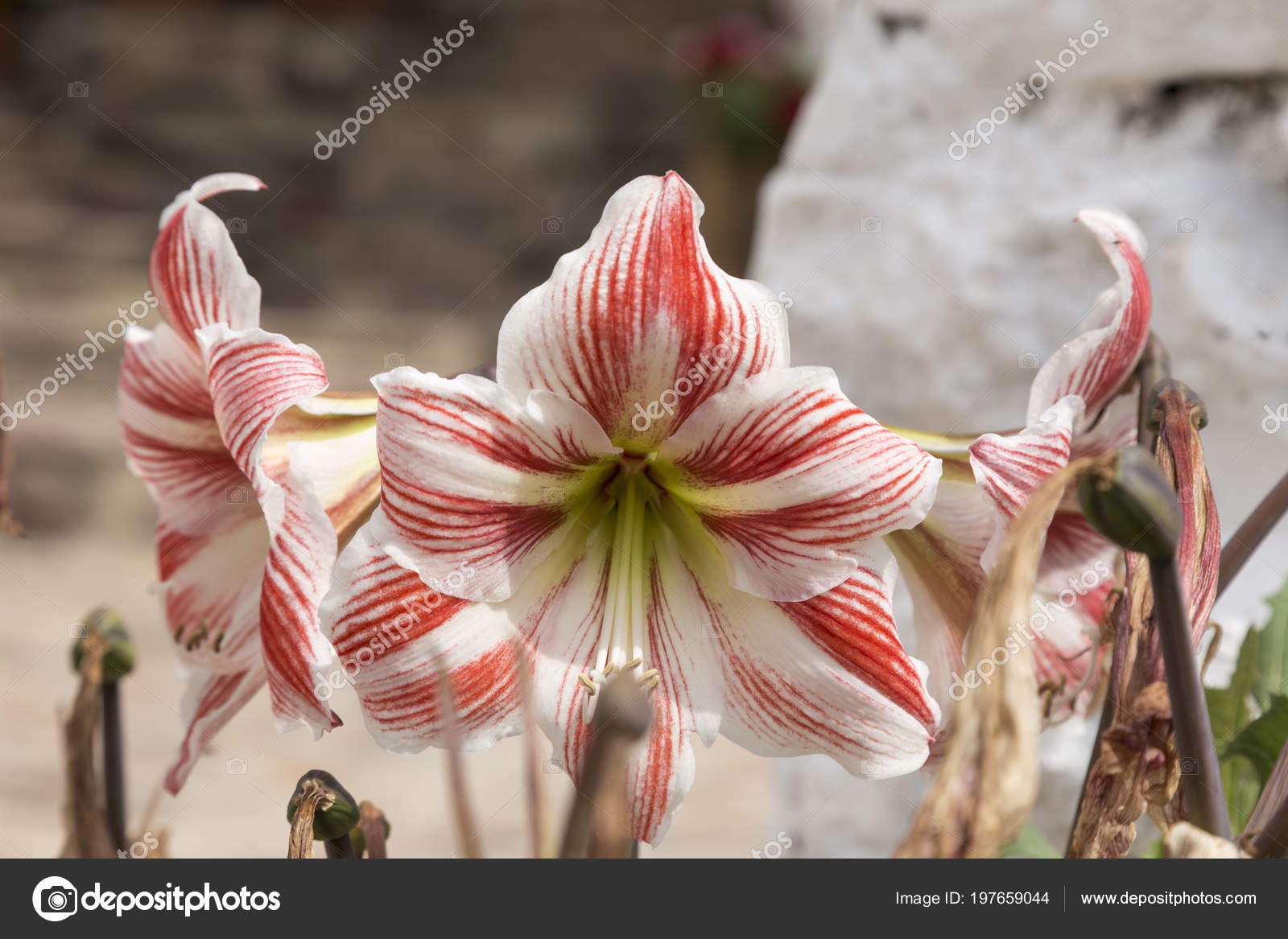 Close Shot Three Striped Lilies Fragrant Flowers Variety Red White