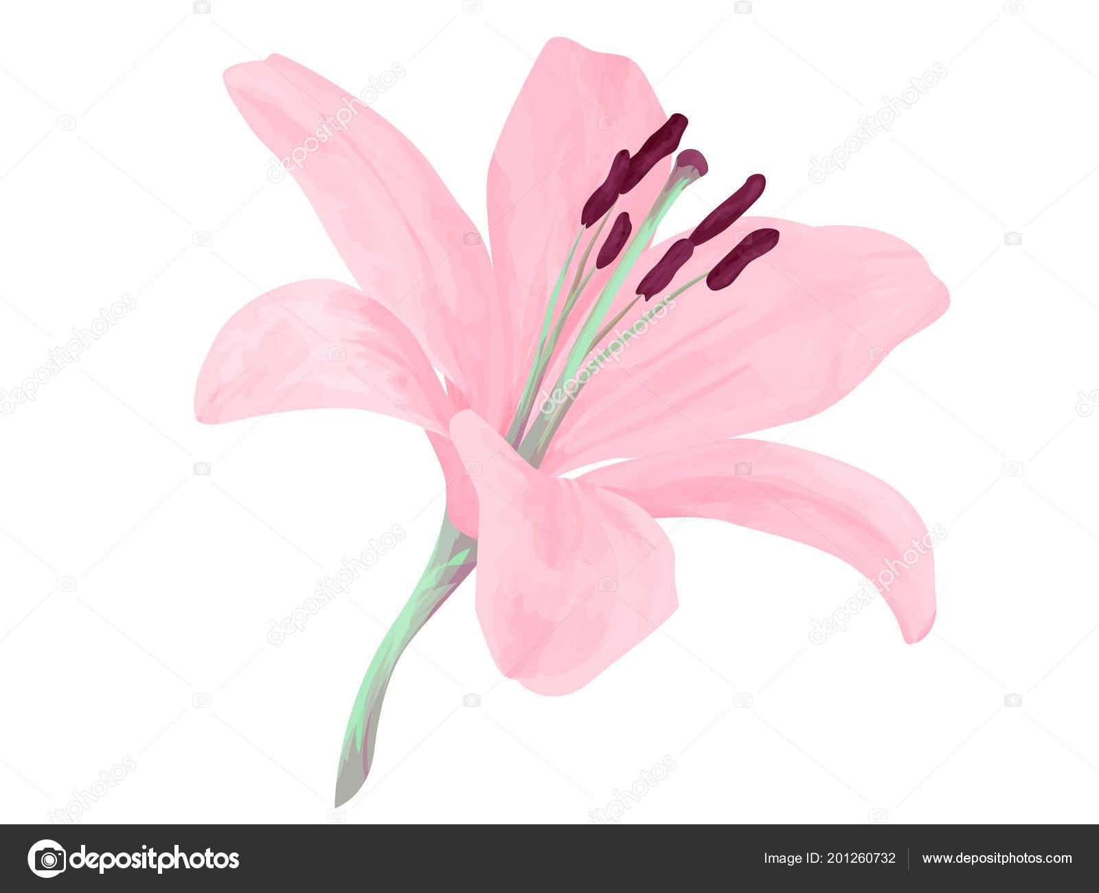 Flor lis aislados vectores delicados ptalos rosa delicado realismo flor lis aislados vectores delicados ptalos rosa delicado realismo bella archivo imgenes vectoriales izmirmasajfo