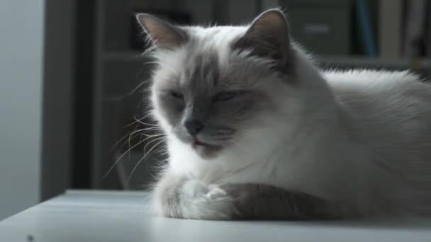 Aranyos macska ápolás és göndörítés
