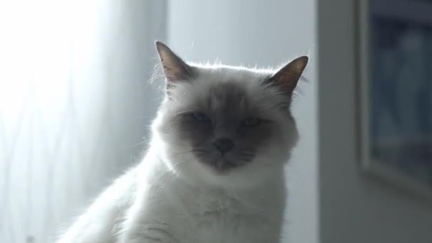 Gyönyörű macska nyalás a szőr, és pihentető