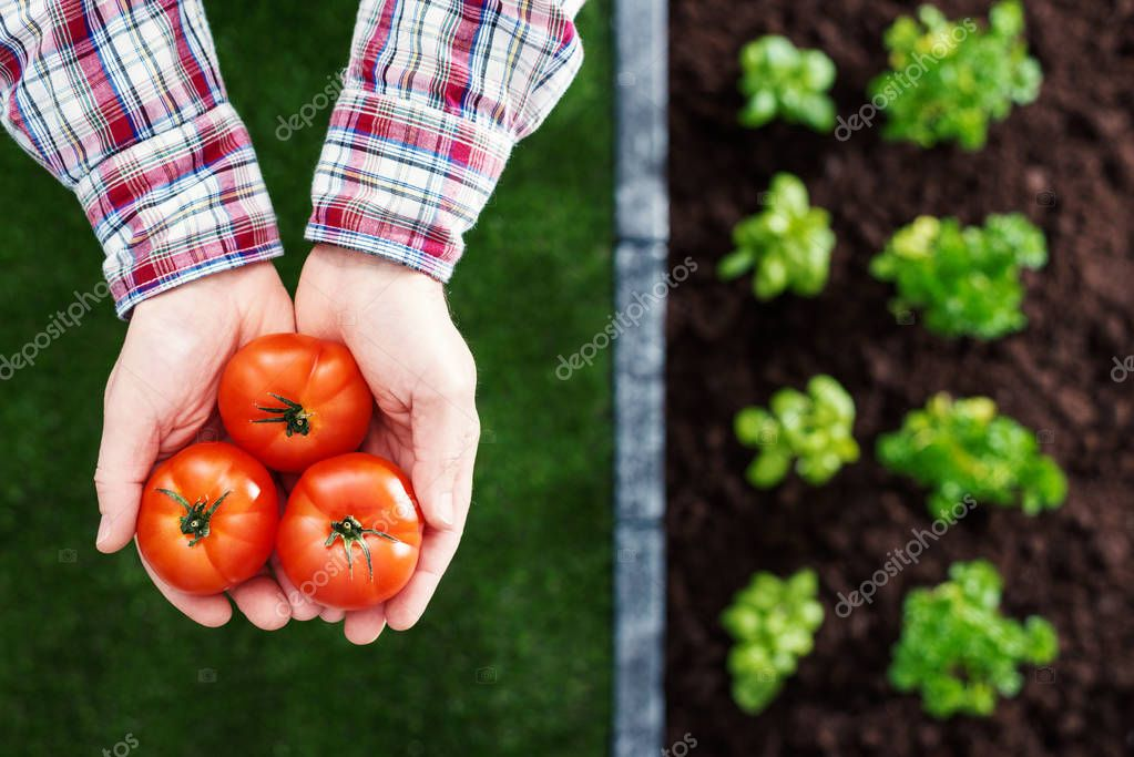 Farmer holding fresh tomatoes in his hands and plants growing in the garden, farming and healthy vegetables concept