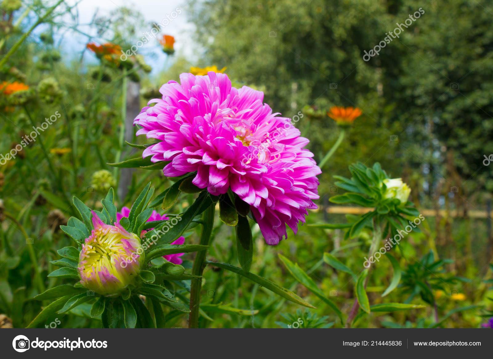 Aster Rose Des Fleurs Dans Jardin Bourgeon Rose Fleurs Automne ...