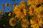 Élénk sárga évelő arany ragyogás (Rudbeckia laciniata) kétvirágú növény.Rudbeckia laciniata sárga virágok a kert közeliben. A háttérben egy barna tetős ház