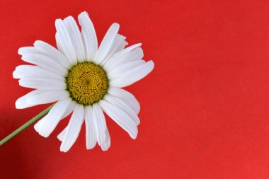 Picture of chamomile flower with white long petals on a solid red background