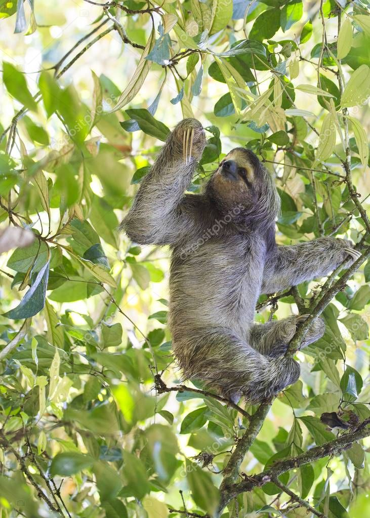 Brown-Throated Sloth (Bradypus variegatus) spotted outdoors