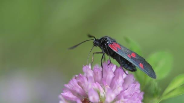 Kis fekete és piros foltos pillangó eszik nektár egy lila virág. Ötpontos burnett (Zygaena trifolii))