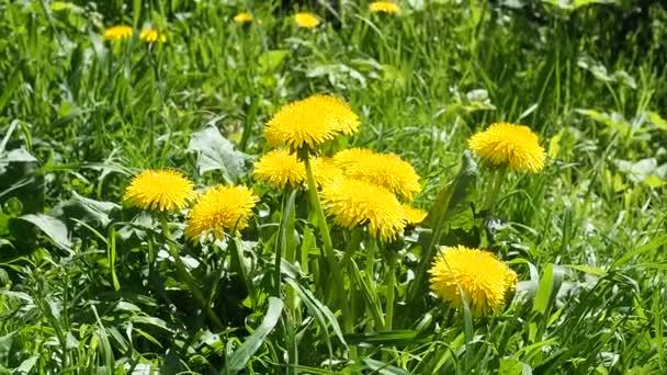 Žluté chruplnaté květy v zelené trávě za slunečného dne se houpají ve větru.
