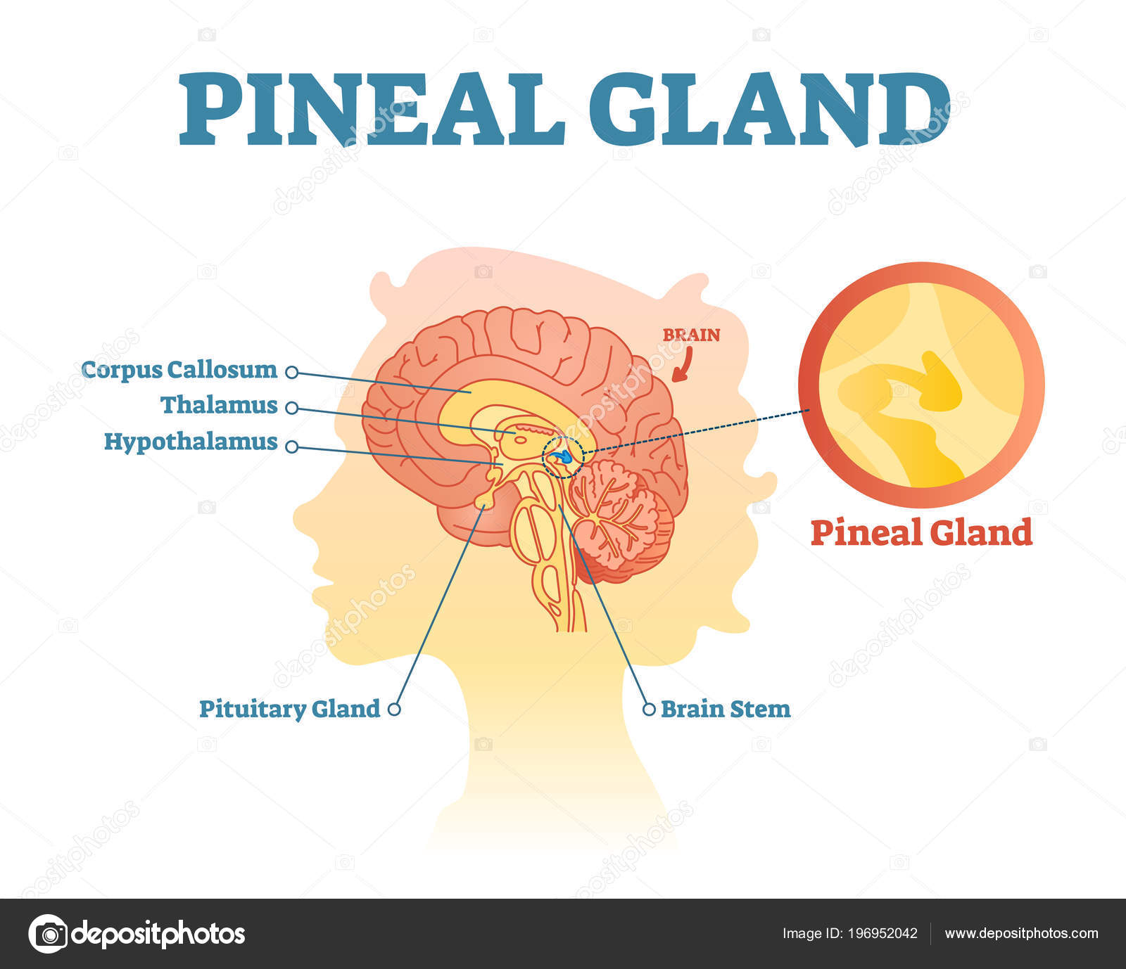 Pineal gland anatomical cross section vector illustration diagram ...