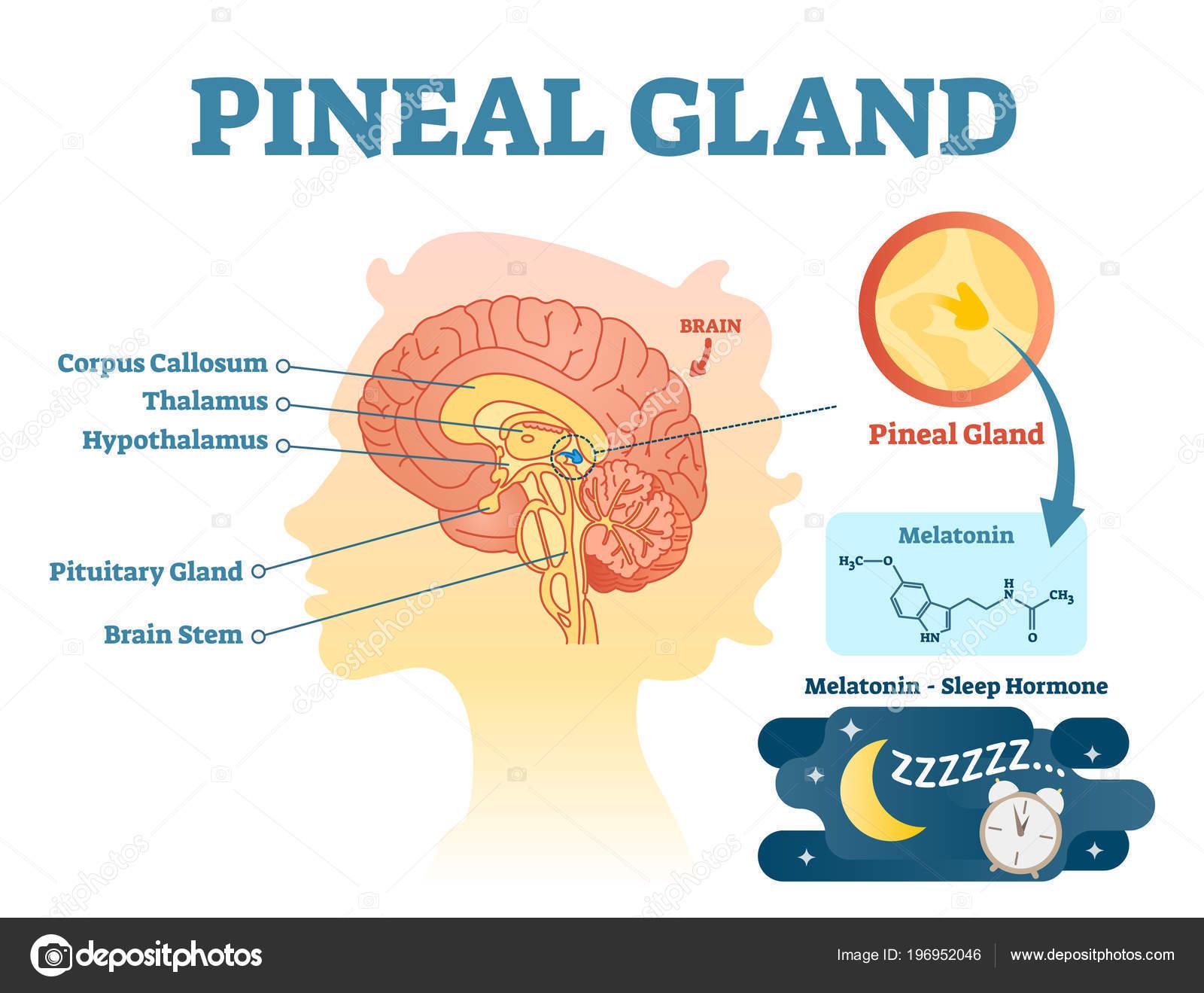 Glándula pineal sección transversal anatómica diagrama de ...