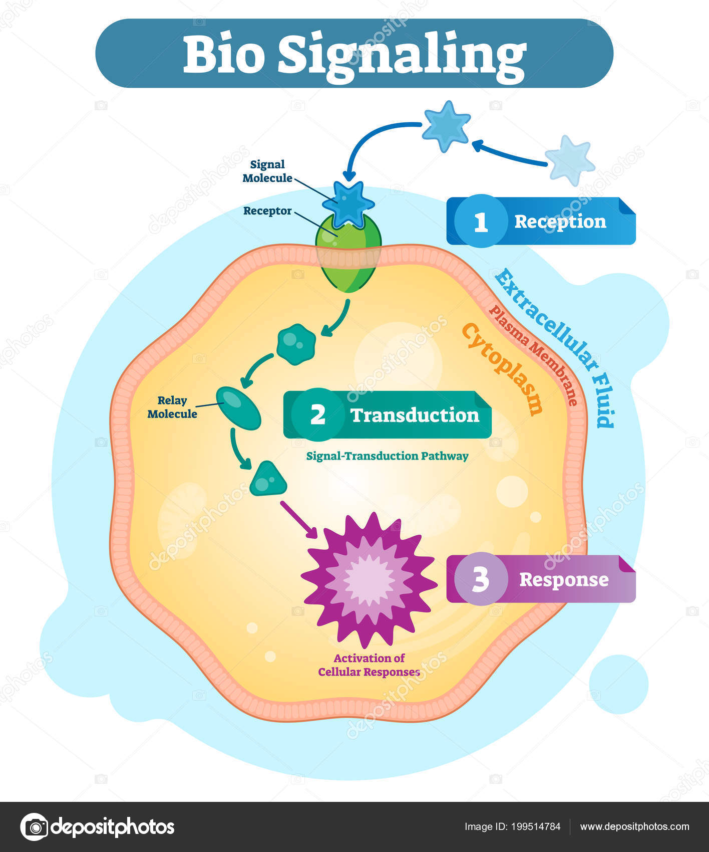 Bio signaling cell communication network system micro biological bio signaling cell communication network system micro biological anatomy labeled diagram vector illustration with receptor transduction and response ccuart Choice Image