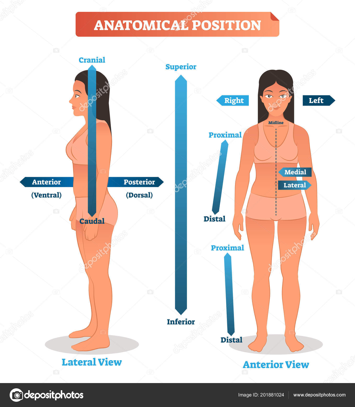 Anatomical positions vector illustration. Scheme of superior ...
