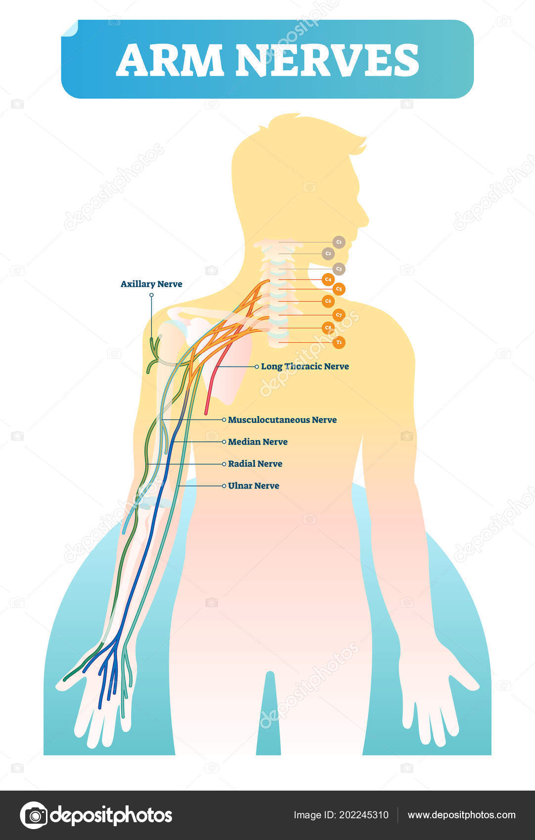 Vector Illustration With Human Arm Nerves Anatomical Scheme With