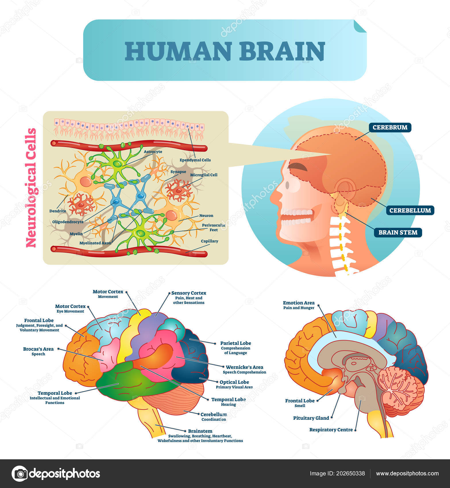 Brain vector illustration medical educational scheme with brain vector illustration medical educational scheme with neurological cells closeup silhouette with cerebrum cerebellum and stem ccuart Choice Image