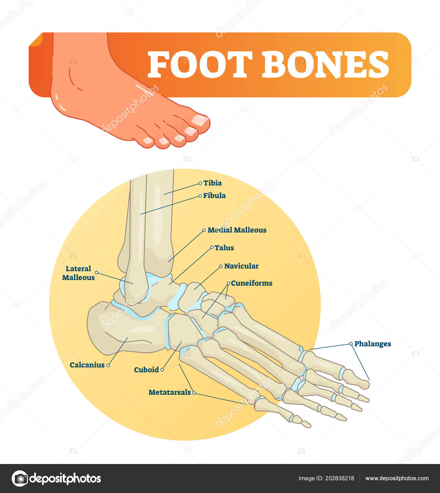Vector illustration with foot bones medical diagram with tibia foot bones vector illustration with labels medical diagram with tibia fibula malleous talus and navicular educational scheme with labeled cuneiforms ccuart Images