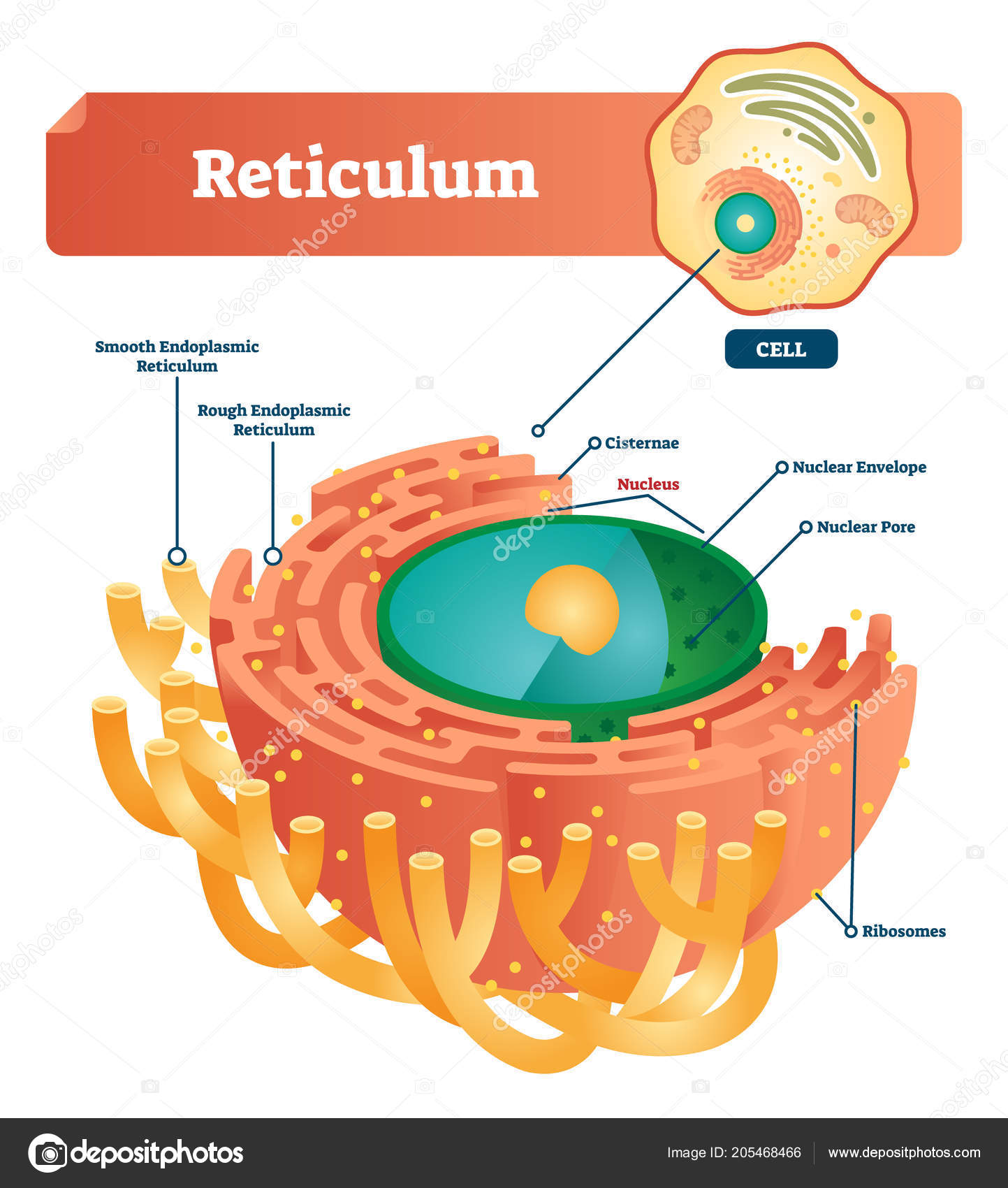 Reticulum labeled vector illustration scheme anatomical diagram anatomical diagram with smooth and rough endoplasmic reticulum closeup with cisternae nucleus ribosomes nuclear envelope pore and anatomical structure ccuart Image collections