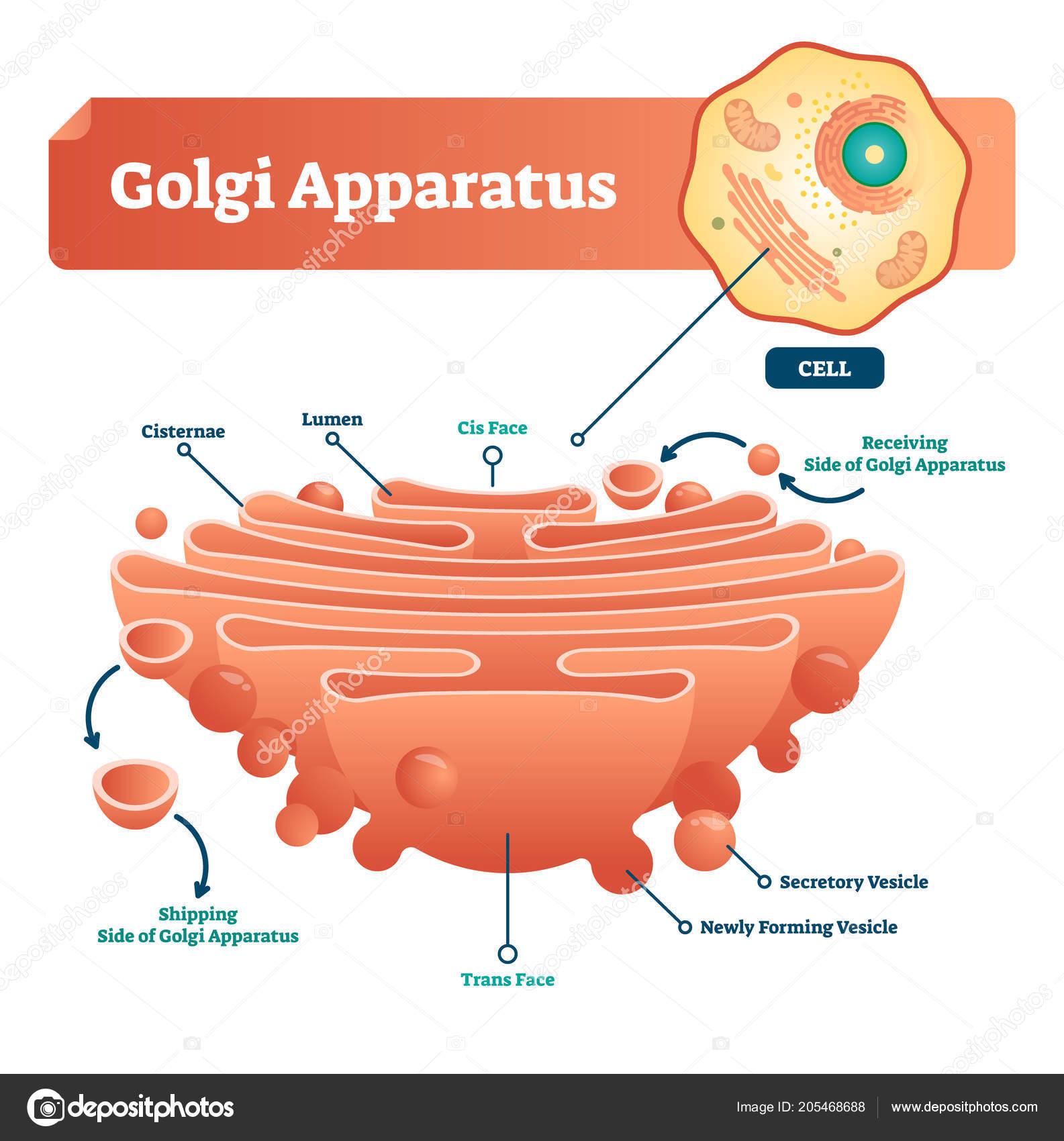Golgi apparatus vector illustration labeled microscopic scheme with golgi apparatus vector illustration labeled microscopic scheme with cisternae lumen secretory and newly ccuart Choice Image