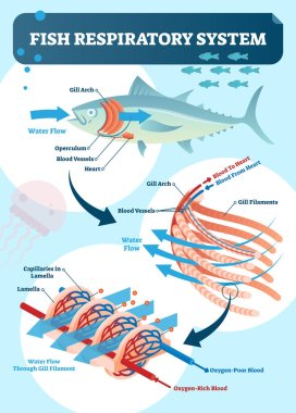 Fish respiratory system vector illustration. Labeled anatomical scheme with gill arch, operculum, blood vessels and heart. Colorful diagram with blood to and from heart.