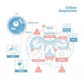 Fényképek Cellular légzés orvosi vektoros illusztráció diagram, légzés folyamat rendszer