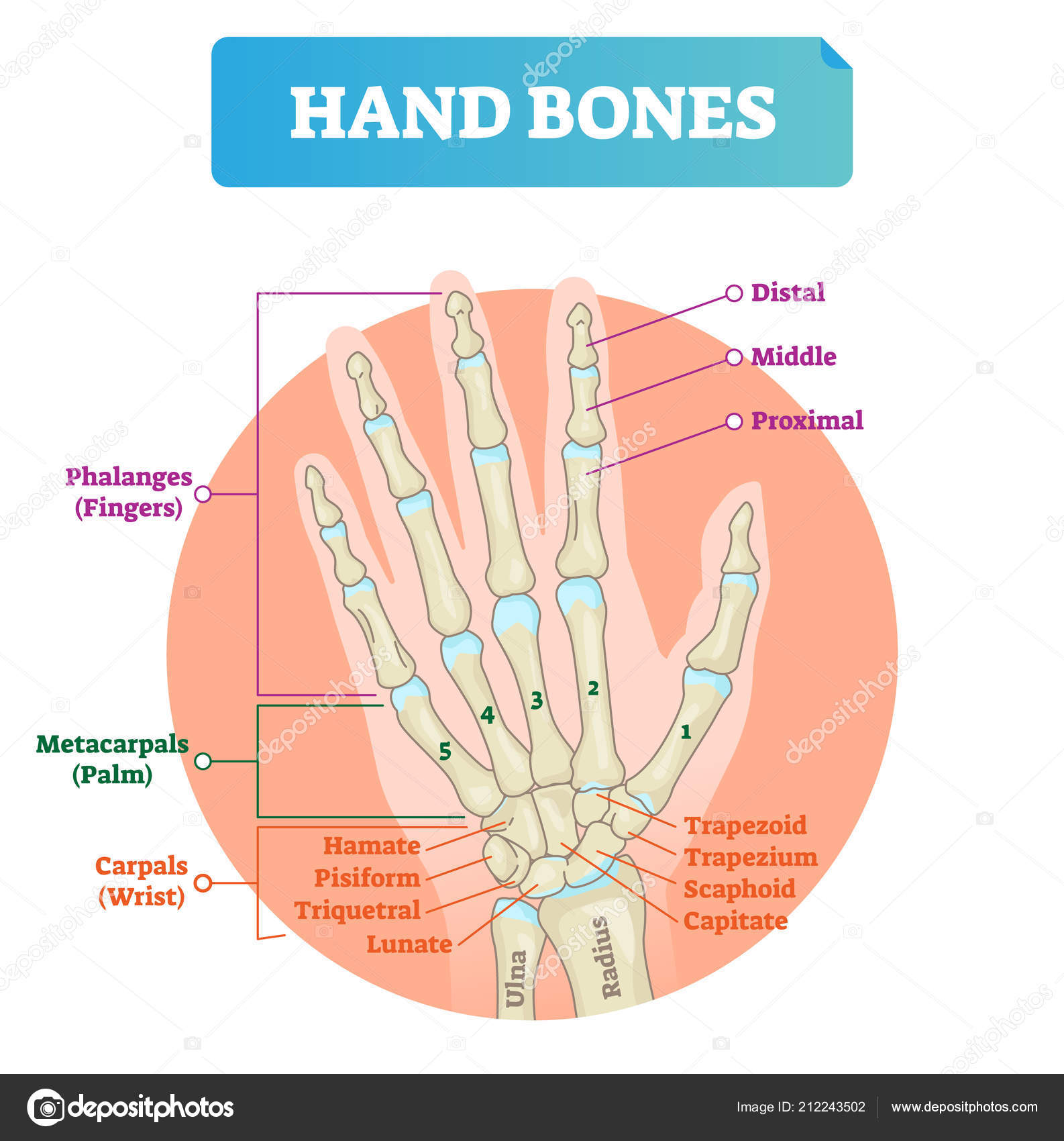 Hand Bones Vector Illustration Labeled Educational Arm Structure
