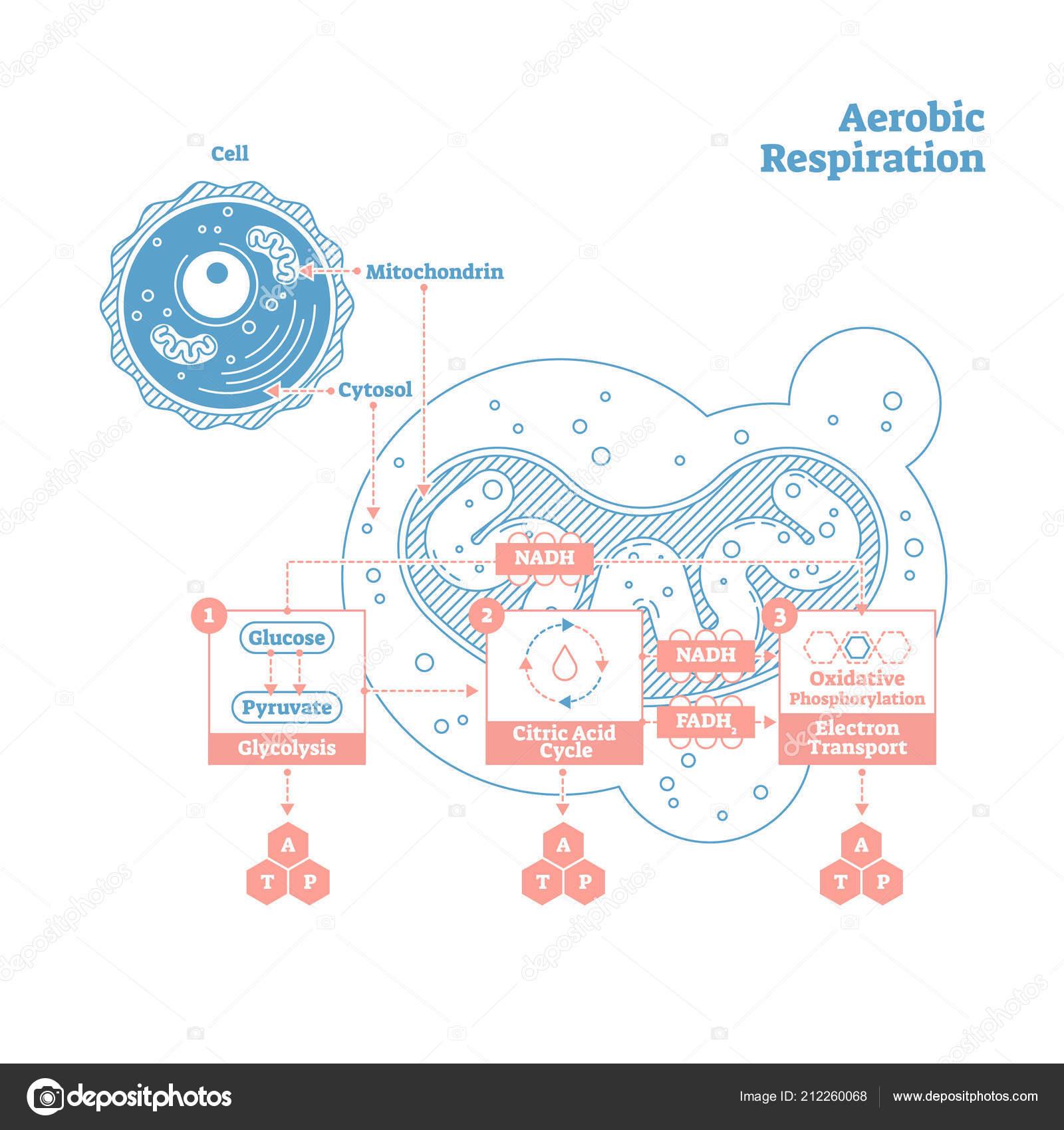 Aeróbicas respiración bio anatómicas ilustración diagrama del vector ...