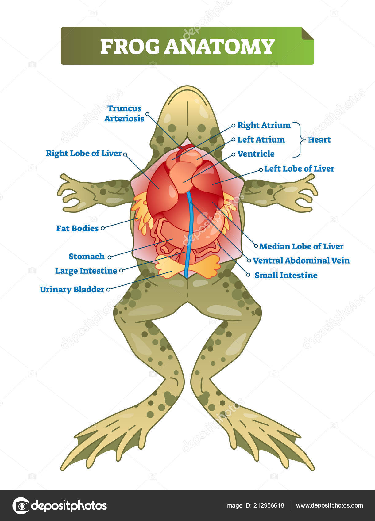 Frog Anatomy Diagrams